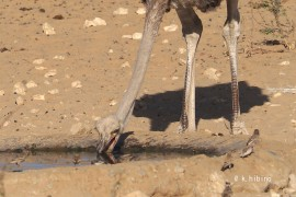 水を飲むダチョウ