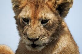 P610で撮ったライオン