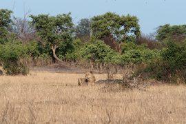 チョベ国立公園で見かけた若い雄ライオン