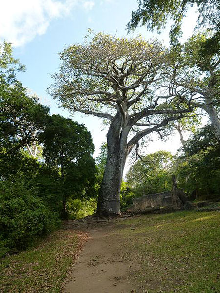 ゲディ遺跡内の300年のバオバブ