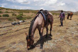 ポニー・トレッキングに利用する馬。モンゴルのものより大きいですが、どことなくアジアの馬の雰囲気があります。