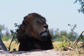 見事な黒いタテガミの雄ライオン