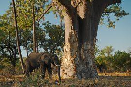ゾウに樹皮をかじられて痛々しいバオバブですが、葉は緑に繁っていました