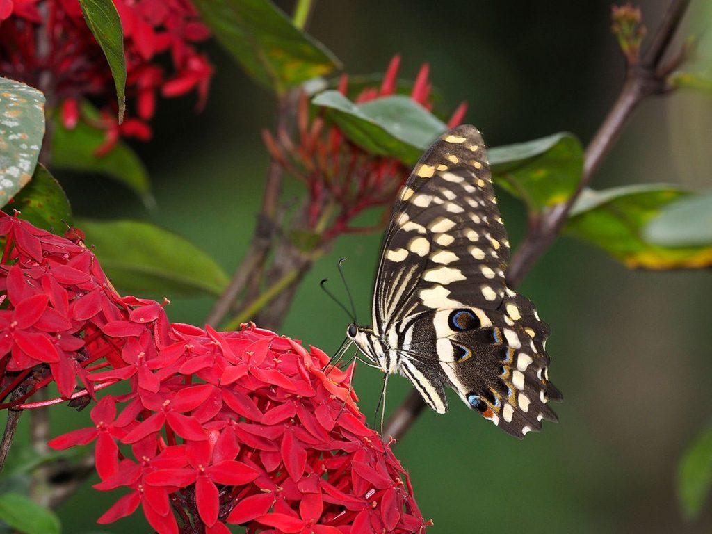 アフリカオナシアゲハ