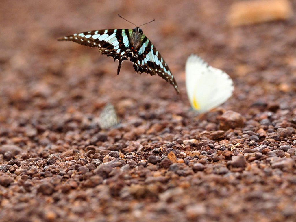 途中でチョウを撮影、ポリセネスタイマイ