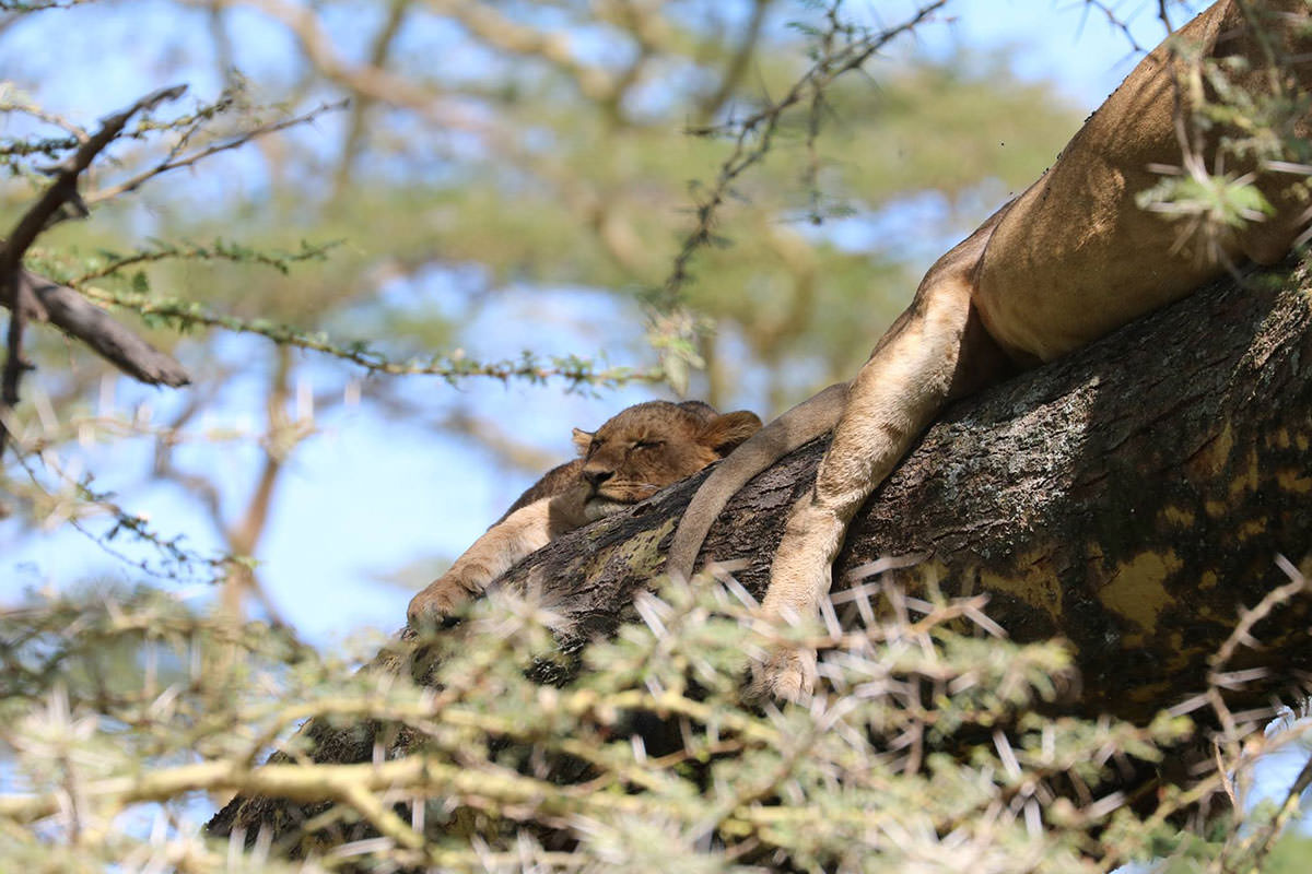 木の上で寝ているライオン
