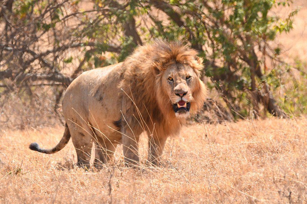 ハネムーン中のライオン1