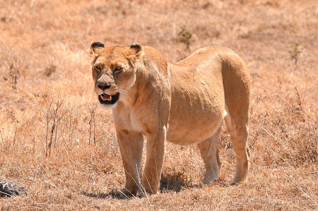ハネムーン中のライオン2