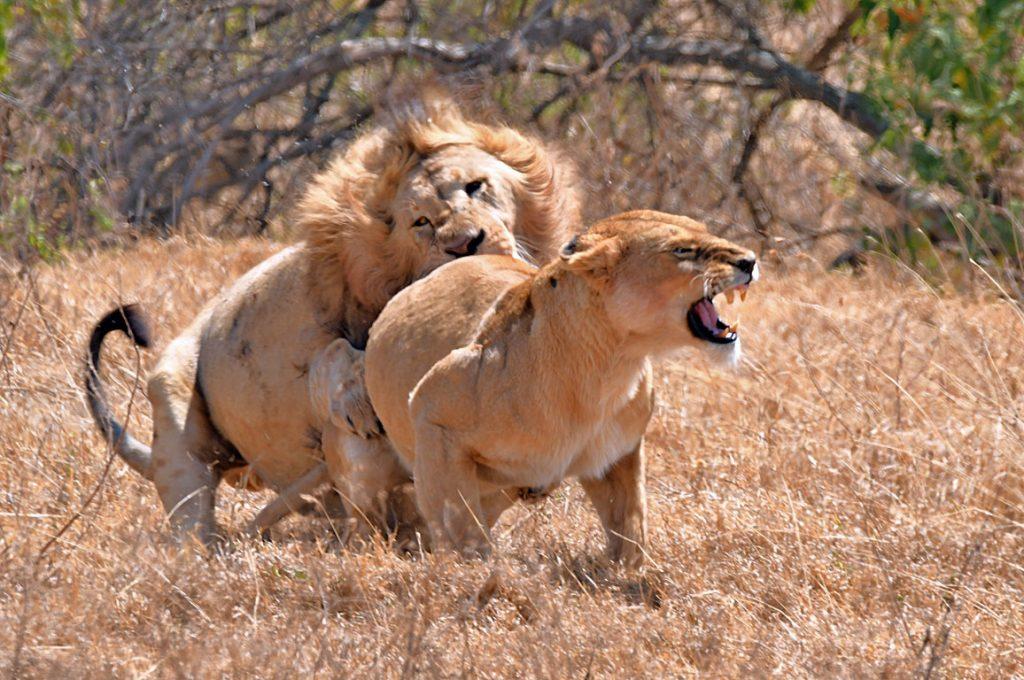 ハネムーン中のライオン3