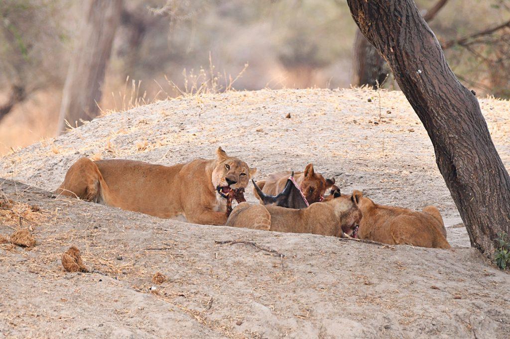 ライオンの食事風景1