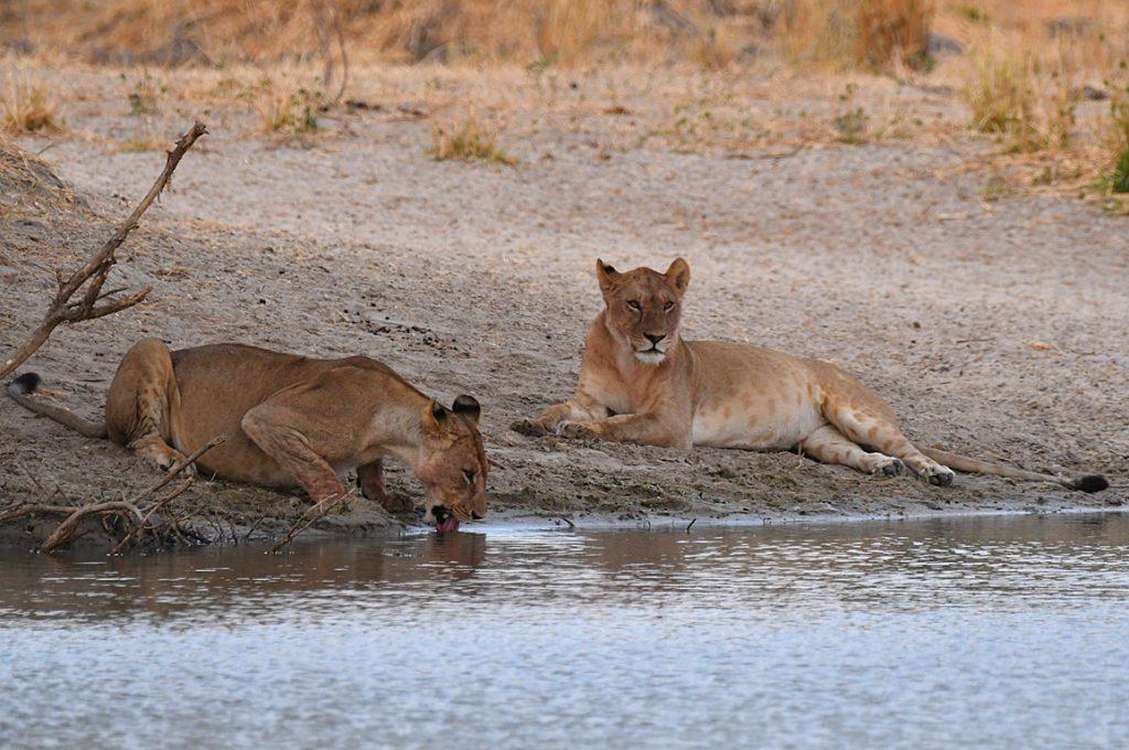ライオンの食事風景2