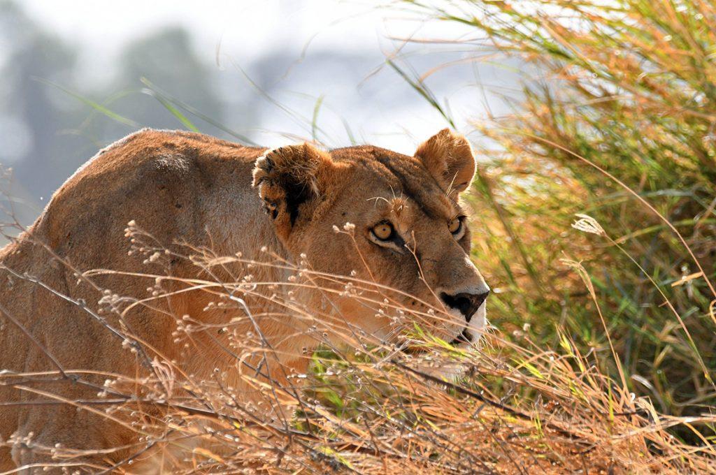 獲物を狙うライオン