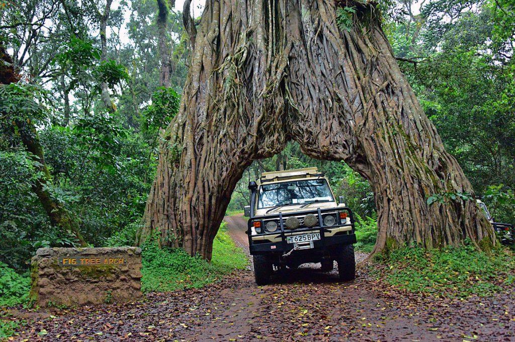 巨大なフィグツリーアーチ
