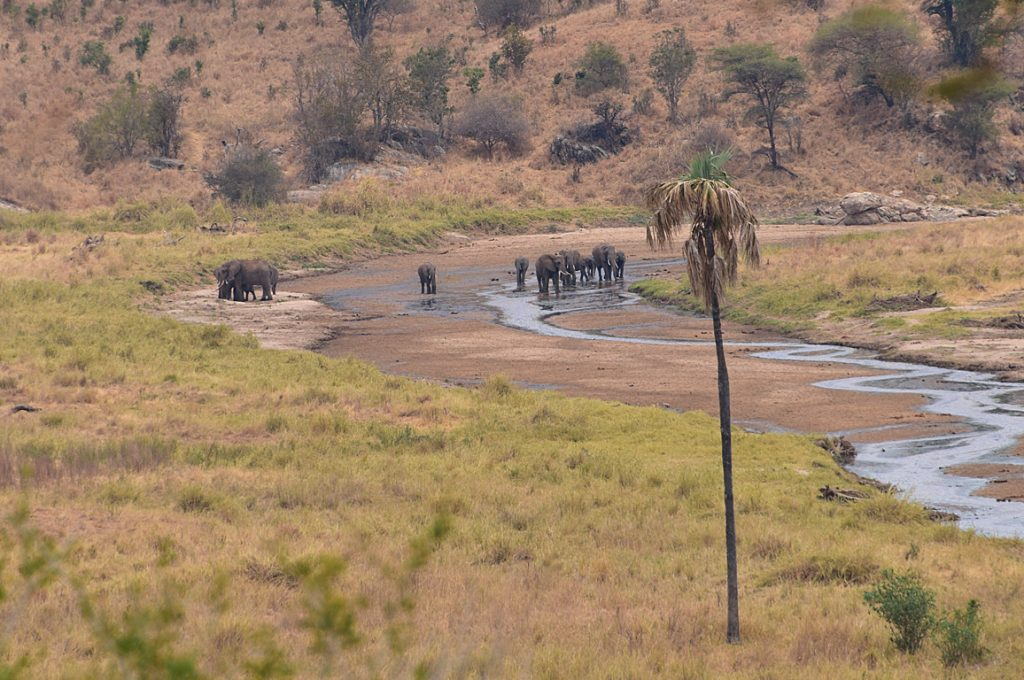 タランギレ川と水を飲みに集まる動物2