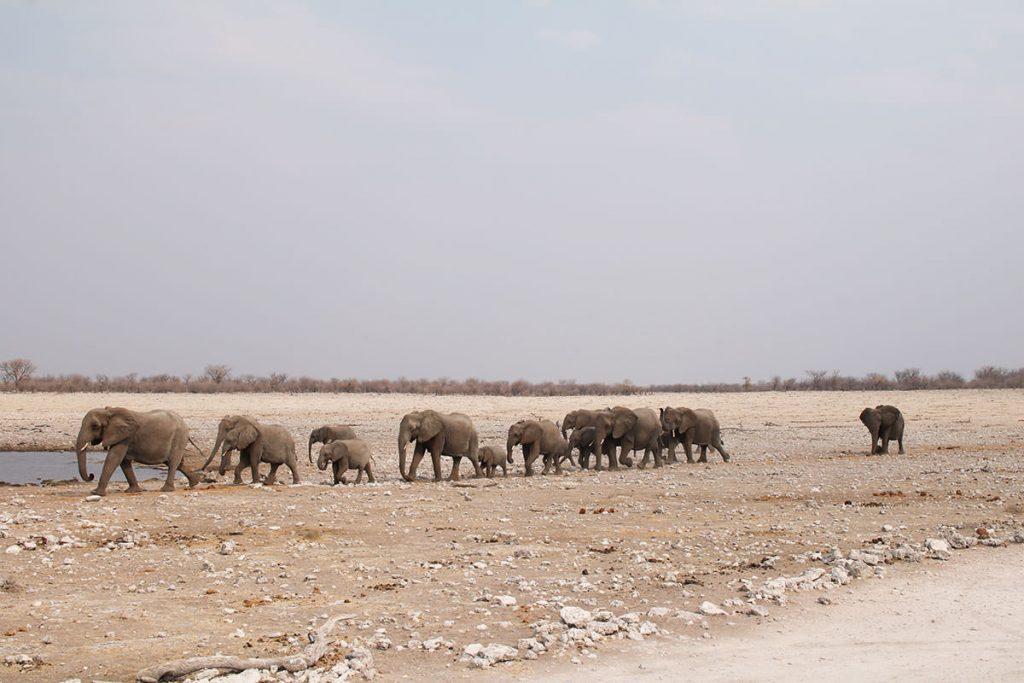 ゾウの家族が水を求めて水たまりに移動してきます