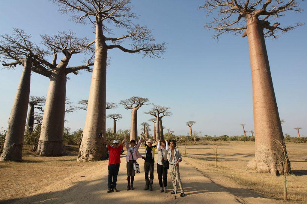 有名なバオバブの並木道(バオバブの種類:アダンスニア グランディディエリ)。