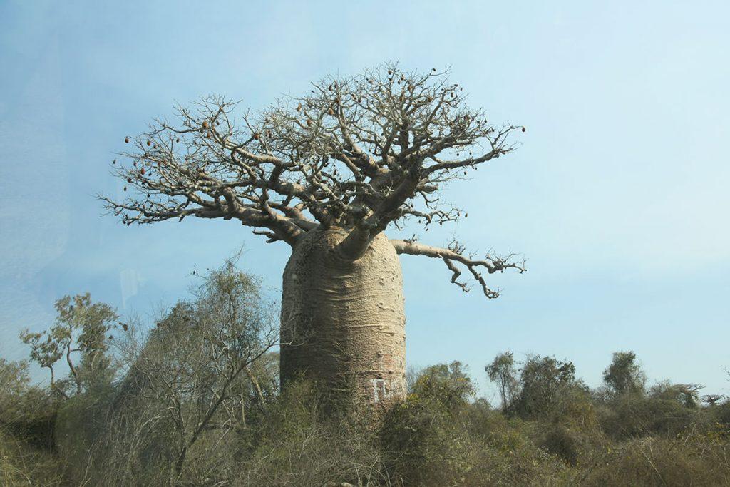 村へ行く道中も、迫力あるバオバブの木が乱立しています2