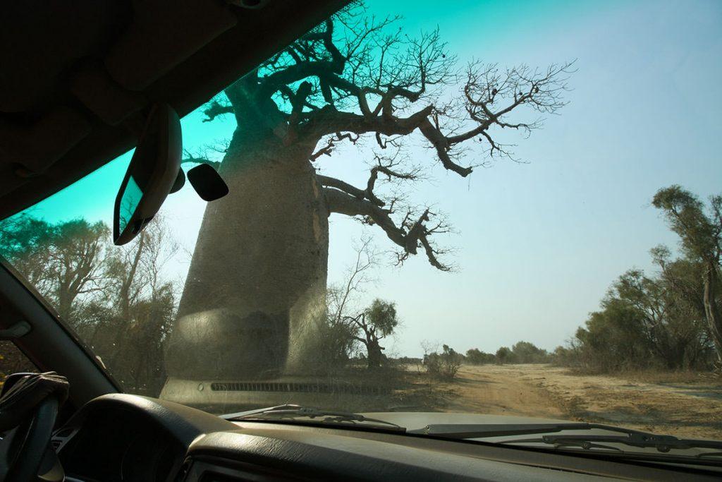 村へ行く道中も、迫力あるバオバブの木が乱立しています4