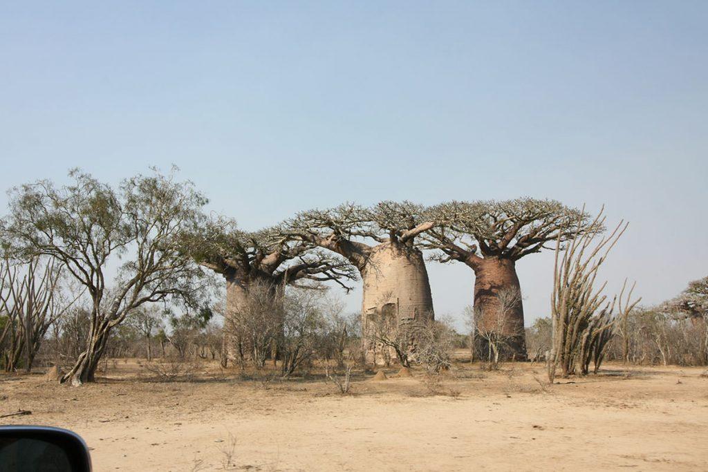 村へ行く道中も、迫力あるバオバブの木が乱立しています5
