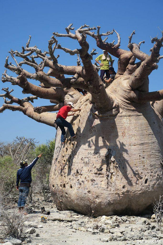 幹に窪みが作られていて、木に登ることが出来ます。