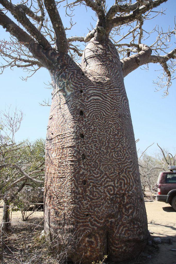 唐草模様のバオバブ。模様が付く理由は解明されていないが、表皮についた菌が原因との説もある。