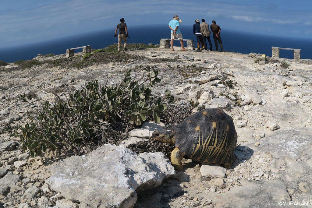 移動中に何度も見かけたホウシャリクガメ。