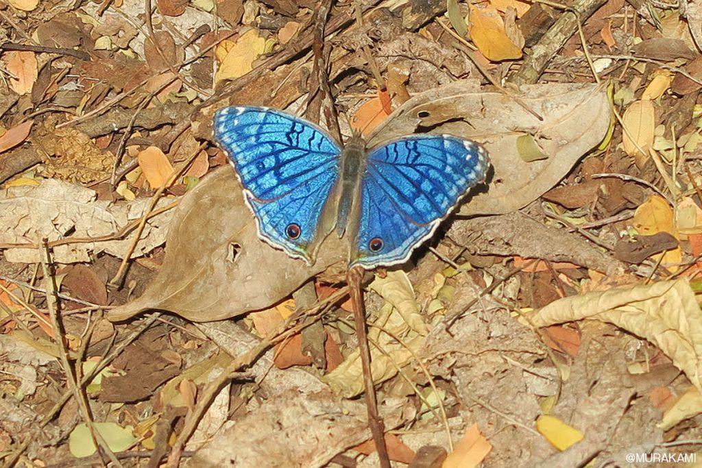 美しい青色をしたチョウ、マダガスカルタテハモドキ