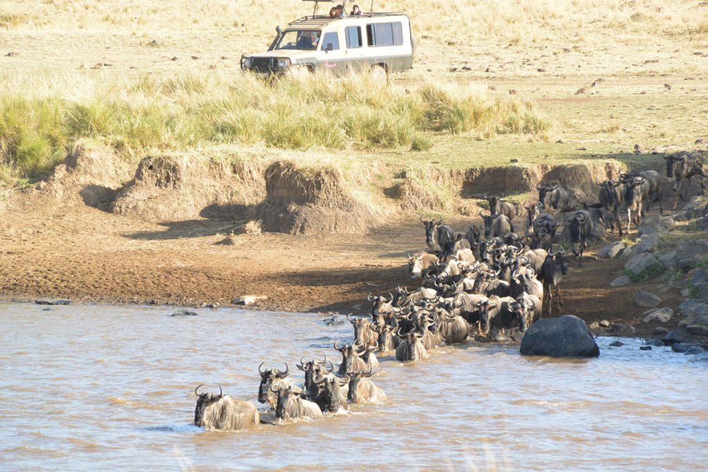 ほぼ平らな場所から川に入っていくヌーの群れ。