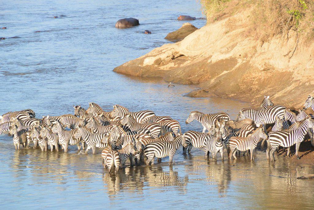 シマウマたちは浅瀬で水を飲みくつろいでます。