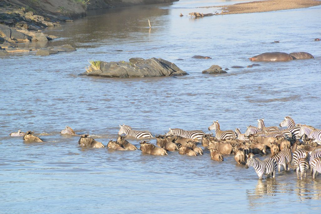 後ろからやってきたヌーと共に川を渡り始めるシマウマ。
