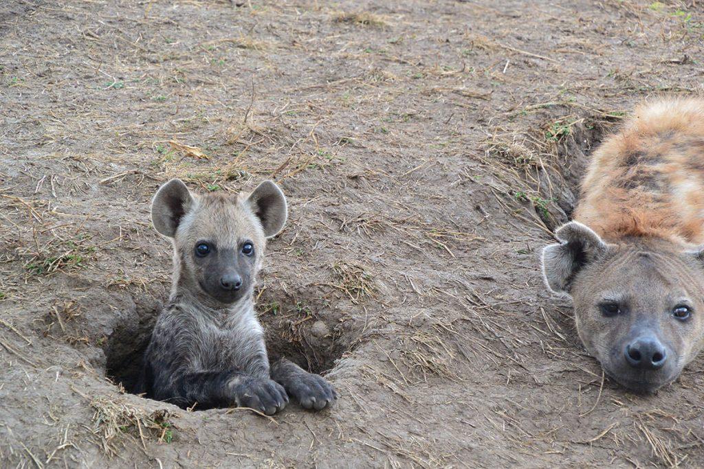 巣穴から顔を出したハイエナの子供は穴の外に出るのをためらっています。