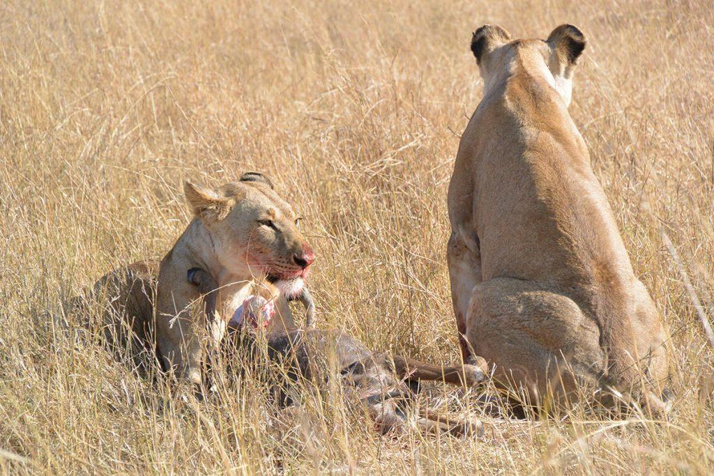 食事シーン3。ライオンの食事もよく見ました。