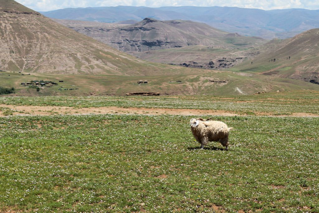 モヘアと呼ばれる希少な毛を持つアンゴラ山羊