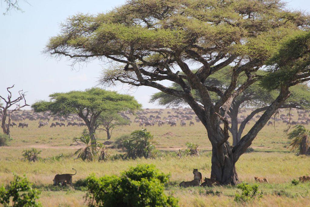 木陰で休むライオンファミリーと、遠くにはヌーやシマウマたちの群れが広がっています。