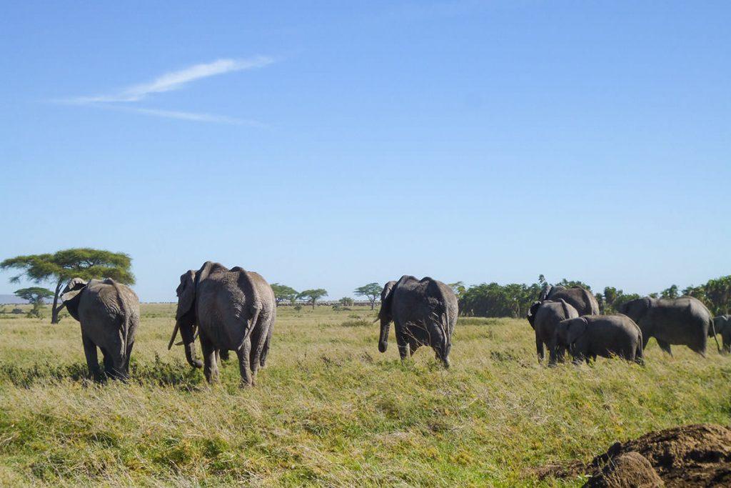 ゾウのファミリー。耳をすませば、草を食む音が聞こえてきます。