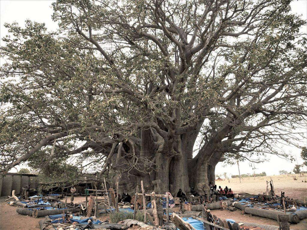 セネガル最大のバオバブの樹。樹齢は1,000年を超えています。