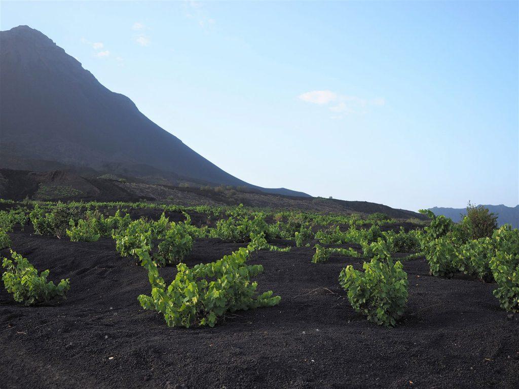 肥沃な火山性土壌では様々な植物の栽培がおこなわれており、ワイン造りもその1つです。