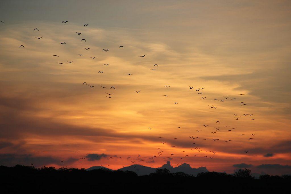 ねぐらの島を飛び立っていくオオコウモリの大群、