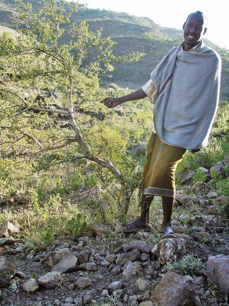 乾燥地で育つ乳香の木は、遊牧民の貴重な収入源