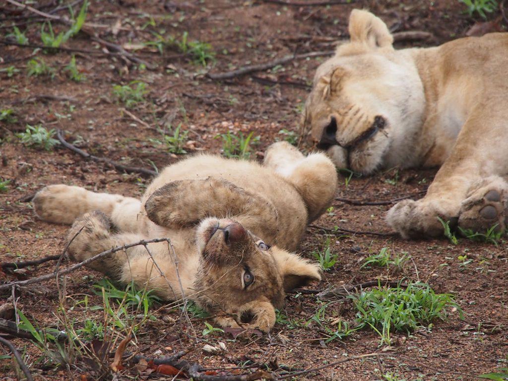 ライオンの子ども
