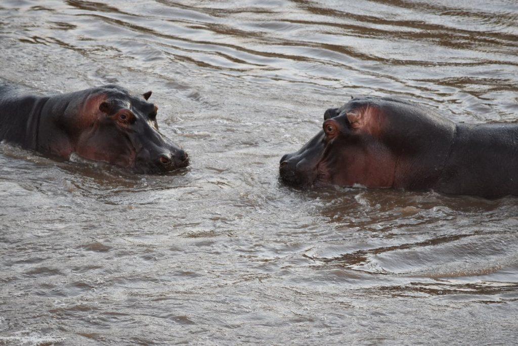 ロッヂに面したマラ川のカバたち