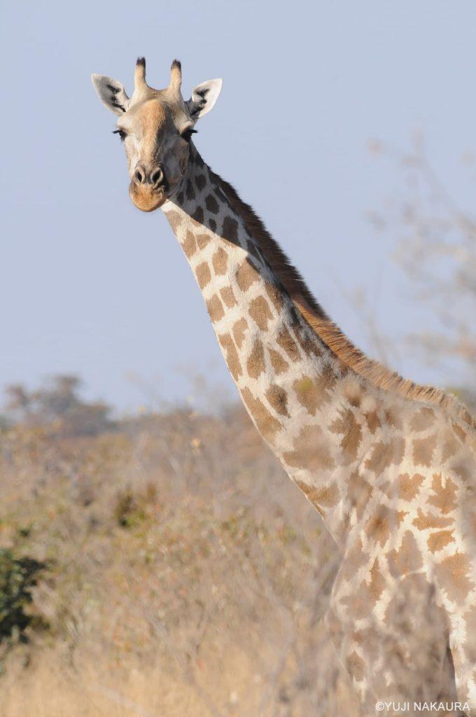 南部アフリカに生息するケープキリン
