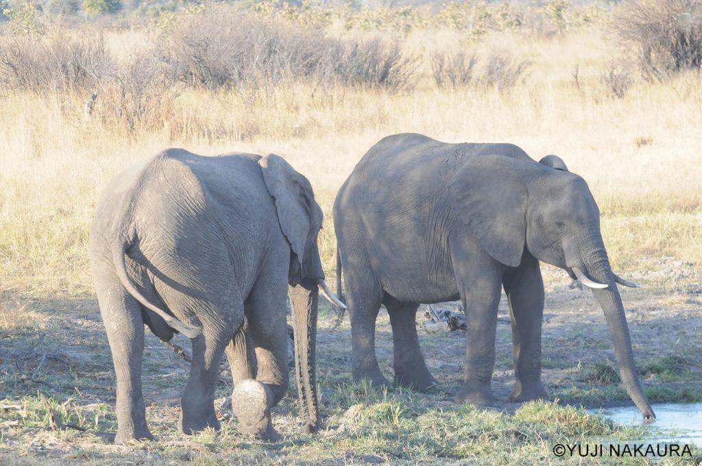 水場にやってきた2頭のオスのゾウ