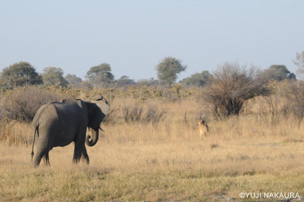 突然ライオンに向かって歩き出した若いゾウ