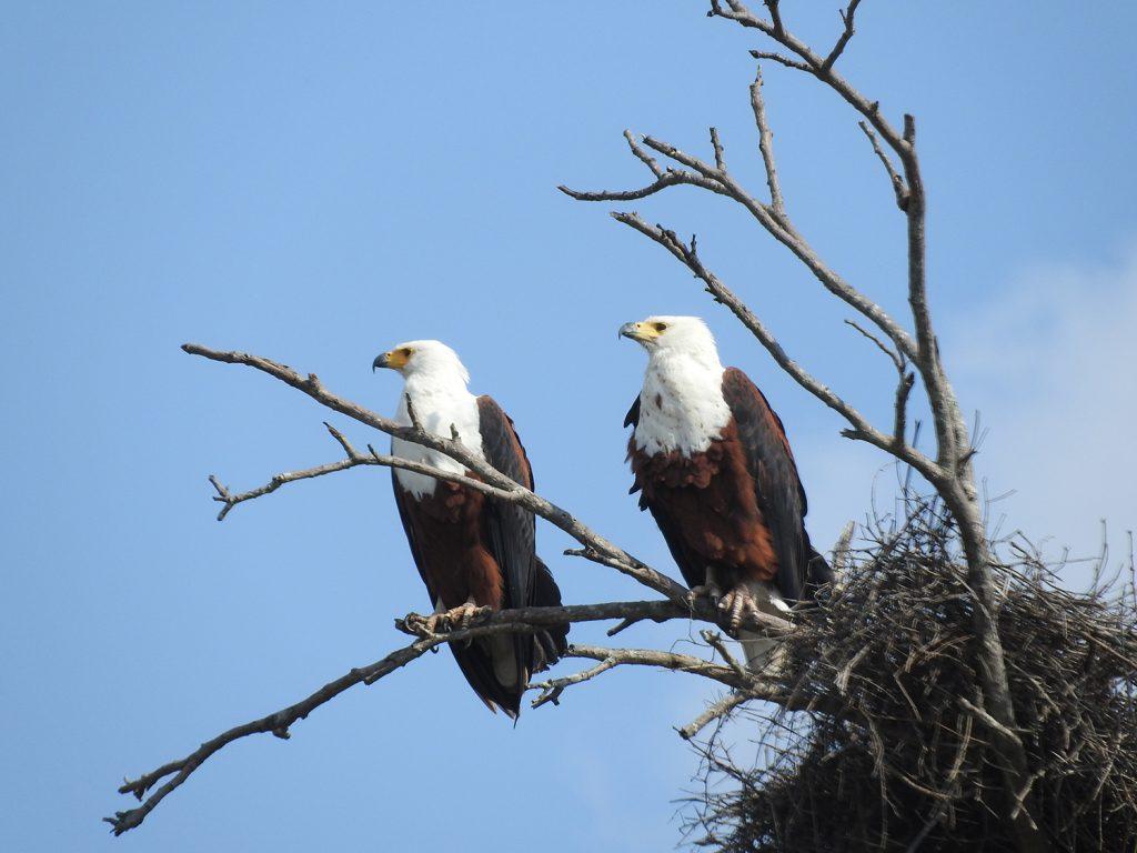 湖のそばではアフリカサンショクウミワシのカップルがいました。