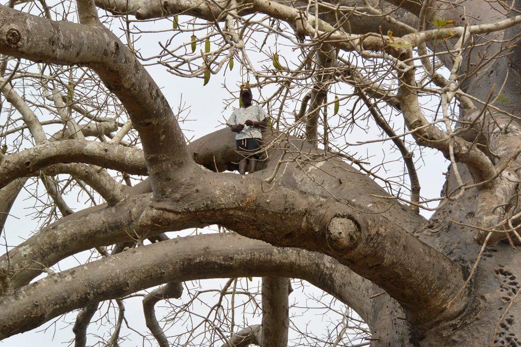 車を走らせるとバオバブがたくさん。村の人は一本の枝に飛び乗ってスルスルと上のほうまで登ってしまいます。