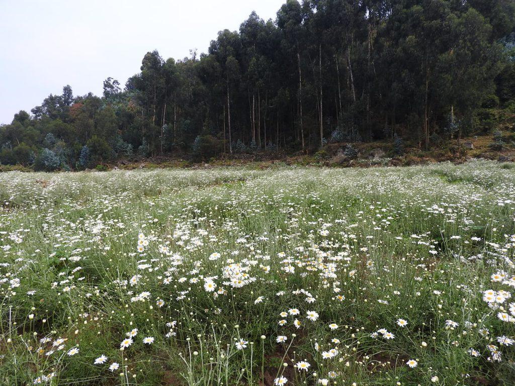 除虫菊の花が咲いてる畑も通りました。