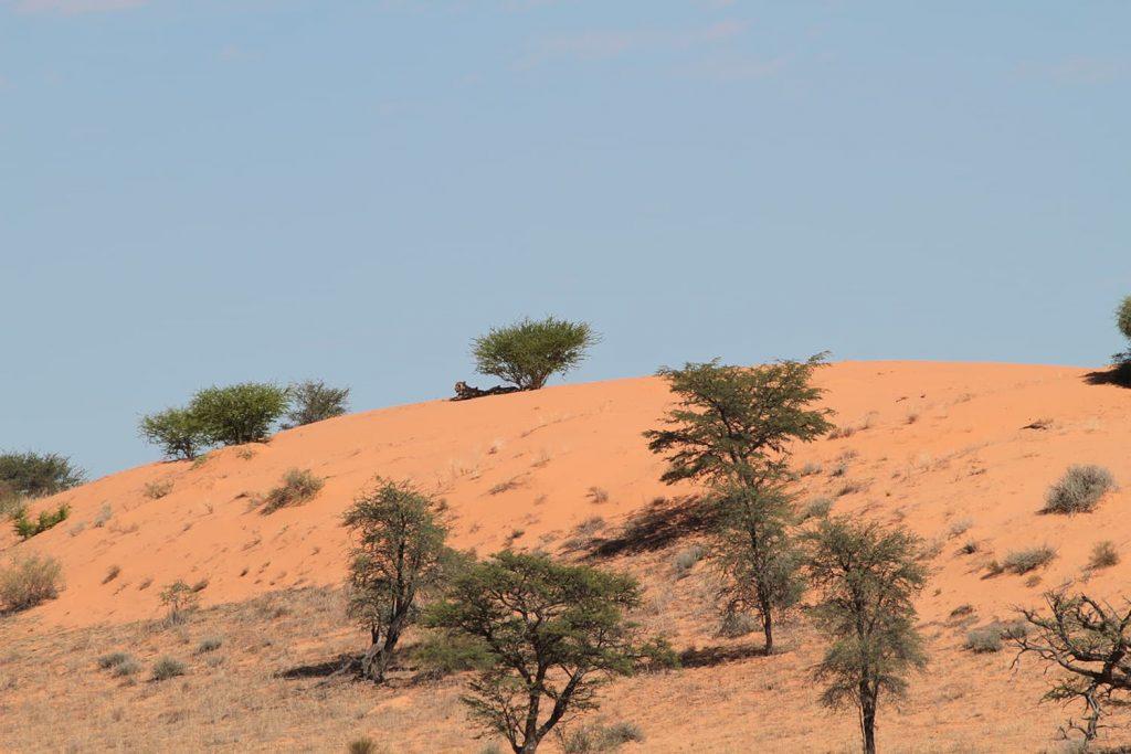 紅い砂と灌木が一つの特徴的な風景です