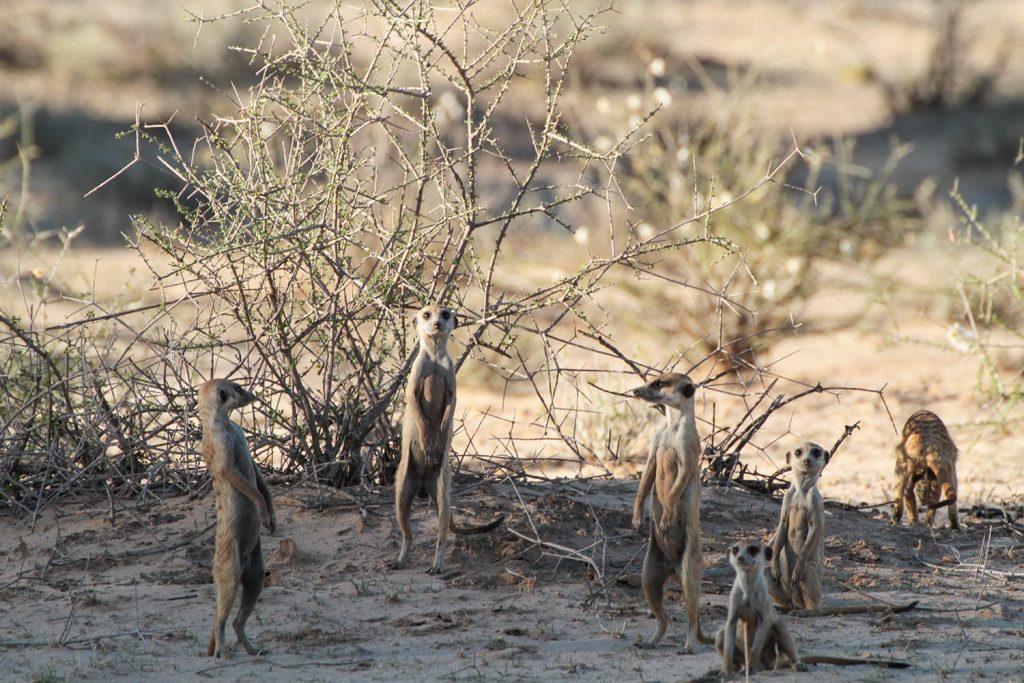 カラハリ砂漠の名物 ミーアキャット2