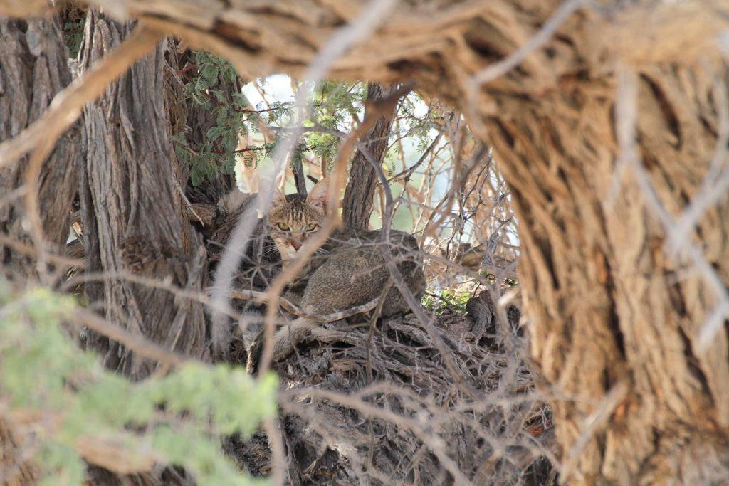 木の幹で休むワイルドキャット